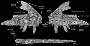 Teratosaurus - Right maxilla of the holotype