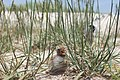 Tern chick and adult at Monomoy National Wildlife Refuge (4853784644).jpg