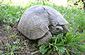 Testudo graeca female with healed carapax.jpg