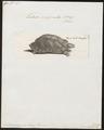 Testudo marginata - 1700-1880 - Print - Iconographia Zoologica - Special Collections University of Amsterdam - UBA01 IZ11600029.tif
