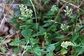 Teucrium scorodonia-Lundgamander2976 (4) - Flickr - Ragnhild & Neil Crawford.jpg