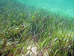 Thalassia testudinum (turtle grass) (South Pigeon Creek estuary, San Salvador Island, Bahamas) 3 (15859724719).jpg
