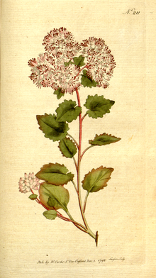 The Botanical Magazine, Plate 211 (Volume 6, 1793).png