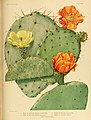 The Cactaceae (Plate XXXIV) (6025956161).jpg