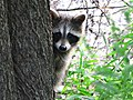 The Friendly Neighbourhood Raccoon (4801025167).jpg