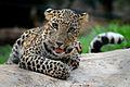 The Leopard Cub.jpg