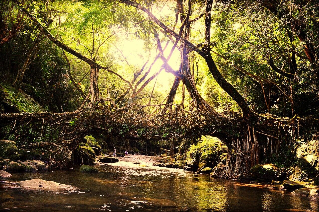 File The Living Root Bridges Of Cherrapunji In Megahalya