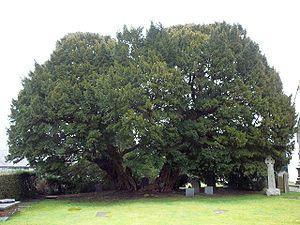 Taxus baccata - The Llangernyw Yew