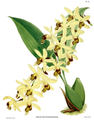 The Orchid Album-01-0089-0029-Coelogyne massageana.png