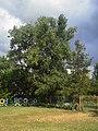 The big poplar on the edge of the meadow. July 2013. - Большой тополь на краю поляны. Июль 2013. - panoramio.jpg