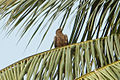 The black kite (Milvus migrans) spotted at Madhurawada.JPG