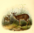 The book of antelopes (1894) Nesotragus moschatus.png
