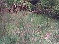 Thick bush.jpg