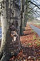 This Beech tree at Schelmseweg Schaarsbergen-Oosterbeek is demolished by Pleurotus ostreatus (Oyster Mushroom, D= Austernseitling, F= Pleurote en forme d'huître ou P. en coquille, NL= Gewone oesterzwam) white spores an - panoramio.jpg