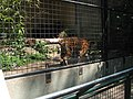 This tiger appears to have a bobbed tail - a curiosity! (540191341).jpg