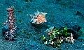 Thornback Cowfish (Lactoria fornasini) (8458440992).jpg