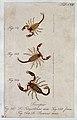 Three scorpions; a male and female Scorpio tergestinus and a Wellcome V0022398ER.jpg