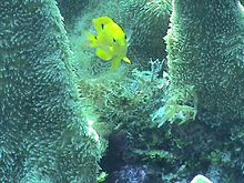 Threespot damselfish in a pillar coral.jpg