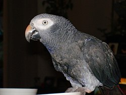 Timneh African Grey Parrot -side upper body.jpg