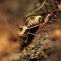 Tiny Barklouse (28519369043).jpg