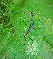 Tipulidae ? (41554723900).jpg