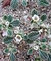 Tiquilia plicata flowers.jpg