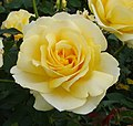 Tivoli 150 rose (7592667730).jpg