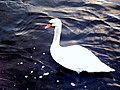 To be a Swan - geograph.org.uk - 661130.jpg