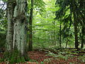 Todtenrode Wald.JPG