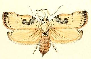 <i>Tonica</i> (moth) Genus of moths