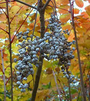 Toxicodendron vernicifluum - Fruits of T. vernicifluum