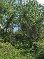 Tra alberi e sterpaglie si intravedono i ruderi di Ca' Maggiore - panoramio.jpg