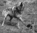 Trapped wolf, Decker, Wyoming (1921).png