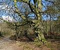 Tree, Clandeboye - geograph.org.uk - 754849.jpg