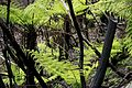 Tree Ferns, Blue Mountains (6599560757).jpg