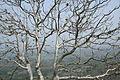 Tree above kandikonda hillock.JPG
