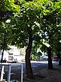 Trees in Odessa, 2019 01.jpg