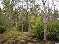 Trembling Aspen Populus tremuloides VanDusen.JPG