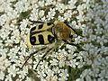 Trichius spec. (Coleoptera sp.), Arnhem, the Netherlands - 2.jpg