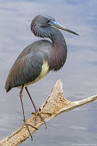 Tricolor Heron in breeding colors..jpg