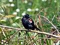 Tricolored Blackbird FWS 3.jpg