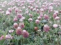 Trifolium fragiferum (subsp. fragiferum) sl10.jpg