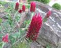 Trifolium incarnatum, 2021-05-20, Beechview, 03.jpg