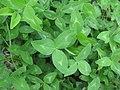 Trifolium pratense leaf4 (10733549194).jpg