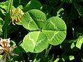 Trifolium repens leaf1 (10733735304).jpg