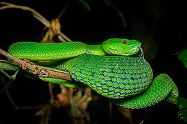Trimeresurus popeiorum, Pope's pit viper - Doi Phu Kha National Park (46846412805).jpg
