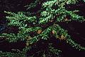 Tsuga canadensis foliage cones.jpg
