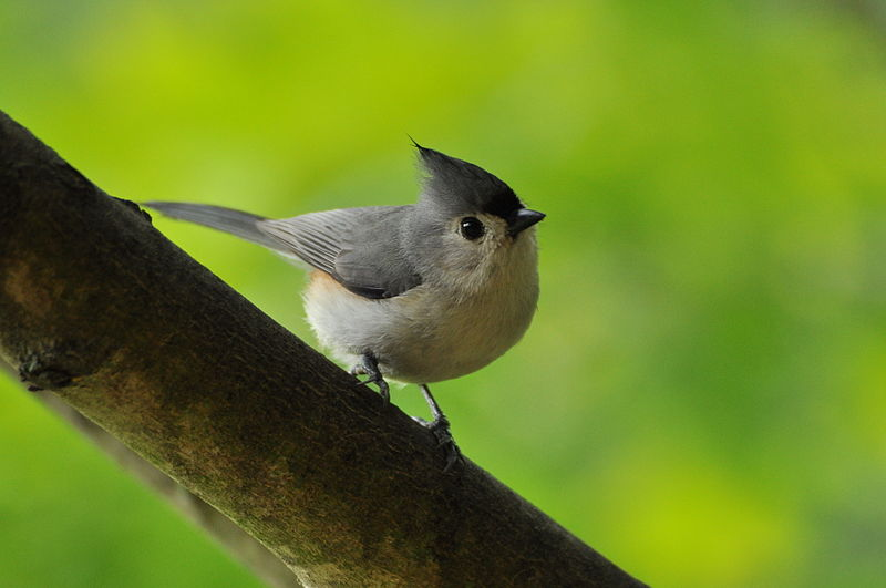 File:Tufted titmouse perched on sugar maple branch (4686398153).jpg