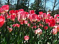 Tulip varieties at Floriade 2004.JPG