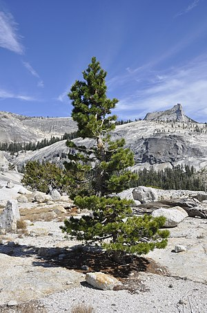 Pinus contorta - Pinus contorta subsp. murrayana near summit of Pywiack Dome in Yosemite National Park.